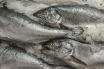 Wild King Salmon caught near Vancouver Island, for sale at a fishmonger's space in the Pike Place Market, Seattle, Washington State, USA