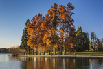 Autumn colors of Bald Cypress, Taxodium distichum, in Green Lake Park, Seattle, Washington State, USA