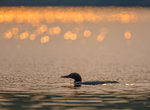 Adult Common Loon (Gavia immer) at sunset on Laura Lake, Laura Lake National Forest Campground, Chequamegon-Nicolet National Forest, Wisconsin, USA
