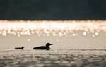 Adult Common Loon (Gavia immer) leading a chick on Laura Lake, Laura Lake National Forest Campground, Chequamegon-Nicolet National Forest, Wisconsin, USA