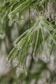 Eastern White Pine, Pinus strobus, needles coated with ice from freezing rain just before Christmas near Augusta, Michigan, USA
