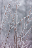 Branches coated with the ice of a freezing rain just before Christmas near Augusta, Michigan, USA