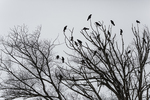 Northwestern Crows, Corvus caurinus, gathered in Seattle's Green Lake Park on bare trees in winter, Seattle, Washington State, USA