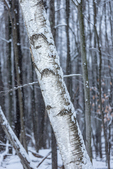 Paper Birch, Betual papyrifera, tree trunk in Mecosta County near Big Rapids and Stanwood, Michigan, USA