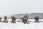 An Amish farm field with corn shocks left during the winter in Mecosta County near Big Rapids and Stanwood, Michigan, USA