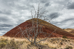 Dead Western Juniper, Juniperus occidentalis, killed by wildfire, on a bunch grass covered hillside in the Painted Hills Unit of John Day Fossil Beds National Monument, located near Mitchell, Oregon, USA