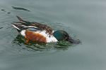 Northern Shoveler, Anas clypeata, drake feeding with bill submerged just below the surface, where it is filtering food from Green Lake, Green Lake Park, Seattle, Washington State, USA