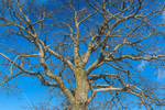 Bare branches of a White Oak, Quercus alba, in the farm country near Stanwood in central Michigan, USA