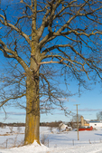 Bare branches of a White Oak, Quercus alba, with Amish barns in the distance near Stanwood in central Michigan, USA  [Note: for editorial licensing only; no property release available]