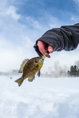 Small Bluegill, Lepomis macrochirus, caught by jigging in an ice fishing hole (then released) in central Michigan, USA
