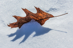 Northern Red Oak, Quecus rubra, leaf partially embedded in blown snow on the frozen surface of a lake in central Michigan, USA