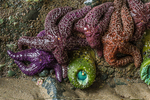 Ochre Stars, Pisaster ochraceus, in a variety of purple shades, with closed Giant Giant Green Anemones, Anthopleura xanthogrammica, in on rocky face of sea stack at low tide, Point of Arches, Olympic National Park, Olympic Peninsula, Washington State, USA