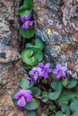 Flett's Violet, aka Olympic Violet, Viola flettii, a beautiful flower, endemic to the Olympic Mountains, observed growing in rock crevices of cliffs near Buckhorn Pass in the Buckhorn Wilderness, Olympic National Forest, Olympic Peninsula, Washington State, USA