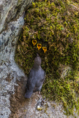American Dipper, Cinclus mexicanus, adult bringing aquatic invertebrates as food for its nestlings inside mossy nest on a giant boulder along the Dosewallips River, Olympic National Forest, Olympic Mountains, Olympic Peninsula, Washington State, USA