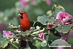 01530-11104 Northern Cardinal (Cardinalis cardinalis) male on Hollyhock (Alcea rosea) Marion Co. IL