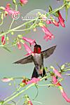 01162-9403 Ruby-throated Hummingbird (Archilochus colubris) male on Prairie Fire Penstemon (Penstemon barbatus) Shelby Co.  IL