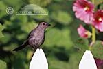 01392-01410  Gray Catbird (Dumetella carolinensis) on picket fence near Hollyhocks (Alcea rosea) Marion Co.  IL