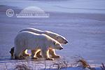 01874-013.09 Polar Bears (Ursus maritimus) female with cub walking on frozen pond  Churchill  MB