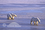 01874-014.02 Polar Bears (Ursus maritimus) female with 2 cubs walking on frozen pond  Churchill  MB