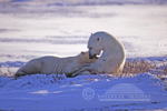 01874-062.11 Polar Bear (Ursus maritimus) female nursing cub  Churchill MB