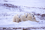 01874-069.07 Polar Bear (Ursus maritimus) mother & cubs  Churchill MB