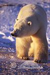 01874-083.01 Polar Bear (Ursus maritimus) walking  Churchill  MB