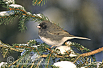 01569-00620 Dark-eyed Junco (Junco hyemalis) in winter, Marion Co.   IL