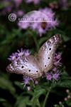 03414-00107 White Peacock (Anartia jatrophae) on Crucita Mistflower (Eupatorium odoratum), Hildalgo Co.  TX