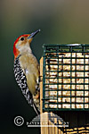01196-029.03 Red-bellied Woodpecker (Melanerpes carolinus) male feeding at suet cake Marion Co.  IL