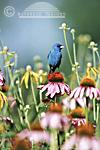 01536-015.03 Indigo Bunting (Paserina cyanea) male on Purple Coneflower (Echinacea purpurea) Marion Co IL