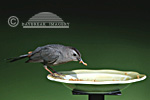 01392-029.07 Gray Catbird (Dumetella carolinensis) eating mealworms at feeder Marion Co. IL