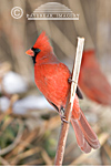 01530-155.15 Northern Cardinal (Cardinalis cardinalis) male in winter, Marion Co. IL