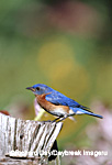 01377-155.16 Eastern Bluebird (Sialia sialis) male on fence post in flower garden, Marion Co. IL