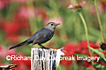 01392-032.10 Gray Catbird (Dumetella carolinensis) on fence post near flower garden, Marion Co. IL