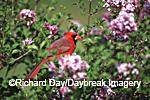 01530-167.06 Northern Cardinal (Cardinalis cardinalis) male in Dwarf Korean Lilac (Syringa meyeri 'Palibin') Marion Co.  IL
