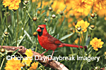 01530-170.10 Northern Cardinal (Cardinalis cardinalis) male in flower garden near Lance-leaved Coreopsis (Coreposis lanceolata) Marion Co. IL