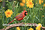 01530-170.19 Northern Cardinal (Cardinalis cardinalis) male in flower garden near Lance-leaved Coreopsis (Coreposis lanceolata) Marion Co. IL