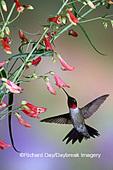 01162-094.07 Ruby-throated Hummingbird (Archilochus colubris) male at Prairie Fire Penstemon (Penstemon barbatus) Shelby Co. IL