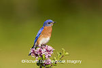 01377-159.08 Eastern Bluebird (Sialia sialis) male in Lilac bush, Marion Co. IL