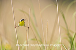 01490-002.03 Common Yellowthroat (Geothlypis trichas) male with food in prairie, Marion Co. IL