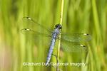 06617-001.05 Spangled Skimmer (Libellula cyanea) male in wetland, Marion Co. IL