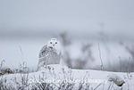 01120-002.02 Snowy Owl (Nyctea scandiaca) Churchill, MB