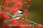 01299-027.11 Carolina Chickadee (Poecile carolinensis) on Common Winterberry (Ilex verticillata) bush, Marion Co. IL