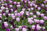 63821-22715 Pink and purple tulips, Chicago Botanic Garden, Glencoe, IL