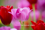 63821-22817 Red and pink tulips, Cantigny Park, Wheaton, IL