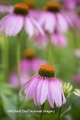 63821-22917 Purple Coneflowers (Echinacea purpurea) Marion Co., IL