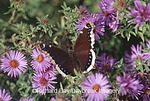 03402-001.06 Mourning Cloak (Nymphalis antiopa) on Aster (Aster sp.) Marion Co.  IL