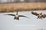 00748-05619 Canada Goose (Branta canadensis) flying in for landing, Marion Co., IL