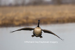 00748-05618 Canada Goose (Branta canadensis) flying in for landing, Marion Co., IL