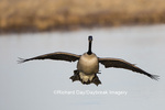 00748-05620 Canada Goose (Branta canadensis) flying in for landing, Marion Co., IL